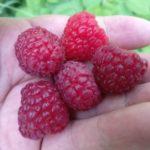 Raspberry Plants